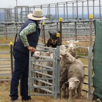 Tasmanian Yard Dog Assoc Fun Day of Trialling